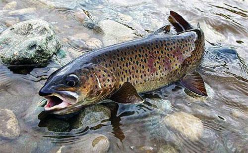 Рыба ленок